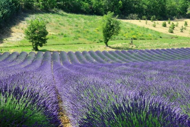 plateau de valensole pour la production de lavande en provence